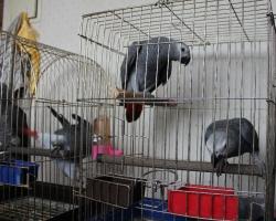 попугай жако минск купить детеныша жако - выкормыши