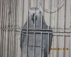 жако  лучший имитатором среди попугаев