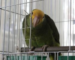 Амазон жёлтолобый попугаи на фауна бай