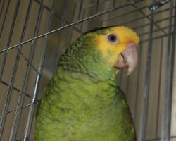 Амазон желтолобый попугаи на фауна бай