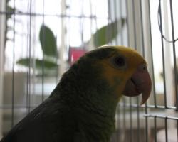 Амазон желтолобый попугай