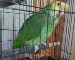 Желтоголовый Амазон (говорящий попугай - новинка лета 2016!)