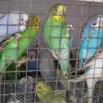 купить волнистого попугая