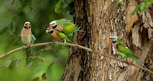 Розовогрудые кольчатые попугаи