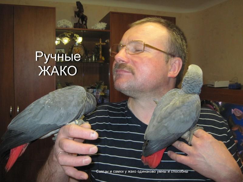 купить попугая жако в минске