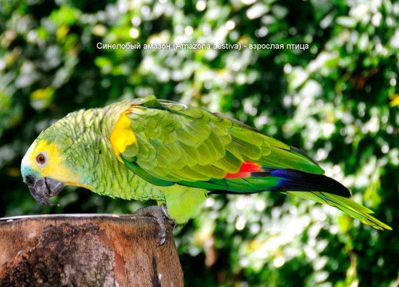 Окрас взрослого Синелобого амазона (Amazona aestiva)