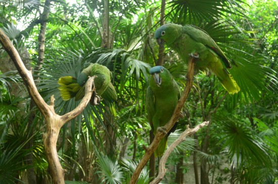 Окрас взрослого Амазона Мюллера (Amazona farinosa)
