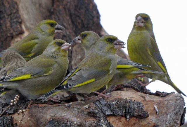 Carduelis chloris - купить птицу зеленушку на фауна бай