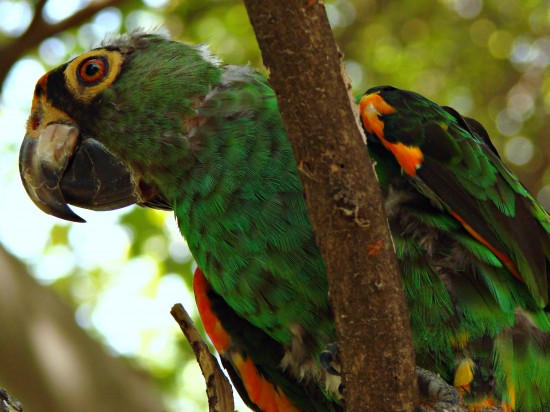 Взрослый конголезский попугай - редкий и красивый!