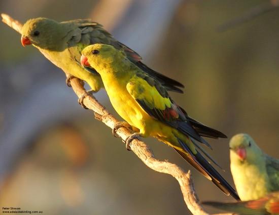 взрослые горные попугаи