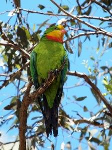 барабантовый попугай, роскошный барабандов или щитовидный попугай