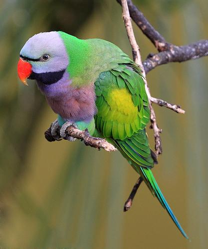 Взрослая особь красавца китайского кольчатого попугая!