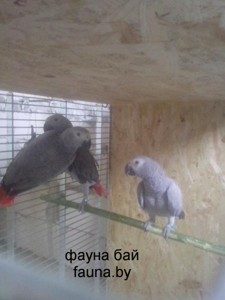 Попугаи Жако недорого купить в  Минске на фауна бай