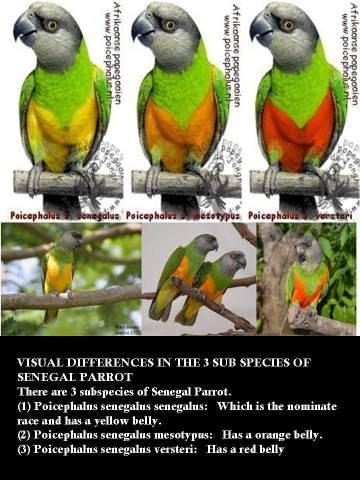 различия в окрасе 3 подвидов сенегальского попугая