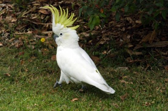 купить попугая какаду